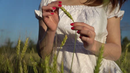Young woman touches the spikelet in her hands closeup. A girl in a white dress stands in a green wheat field.