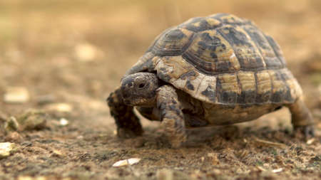 The little turtle is crawling. Wild nature. The turtle is slowly crawling. Side view Archivio Fotografico