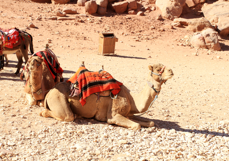 khazneh: Bedouin camel rests near the treasury Al Khazneh carved into the rock at Petra, Jordan