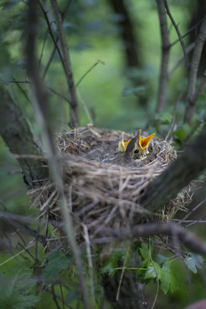 thrush: Song thrush chicks sitting in a nest on a tree. Stock Photo