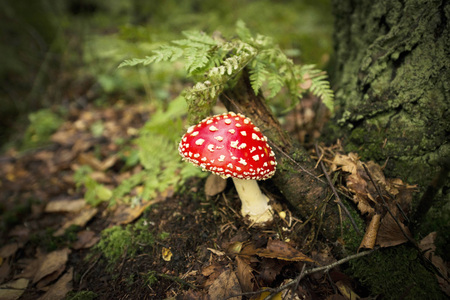 red magic mushroom in the fabulous forest of spruce Standard-Bild
