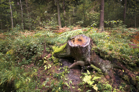 cut down a tree in the Royal forest in the Park area Standard-Bild