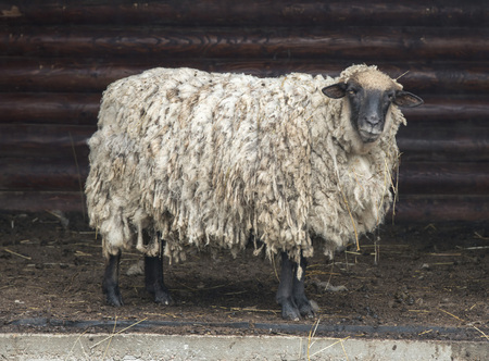 Fat Sheep Coming out of Old Wooden Barn