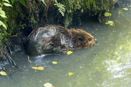 forest otter rodent in its natural habitat in the pond Standard-Bild