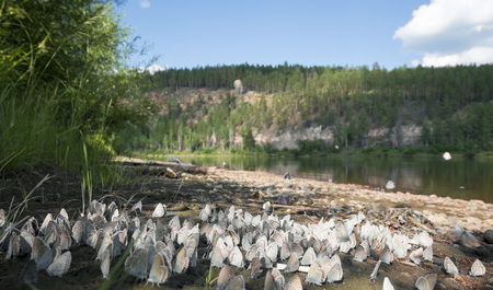 a cluster of butterflies on the banks of the freshwater rivers in June