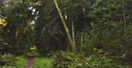 Kurshskaya Kosa national Park in September pines