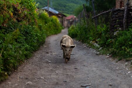 A domestic piglet walking down the street in the village.