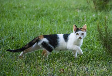 Calico cat walking around Stock Photo