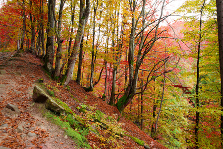 Beech forest on the slopes of the Carpathians in the golden autumn season