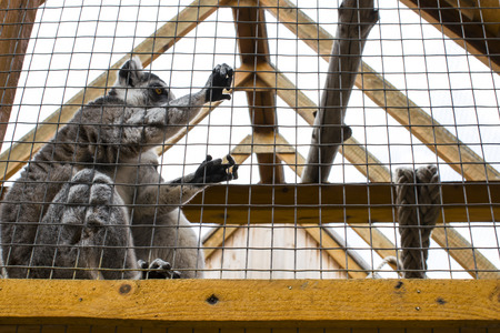 Lemur sits sad at the zoo behind the cage Stock Photo