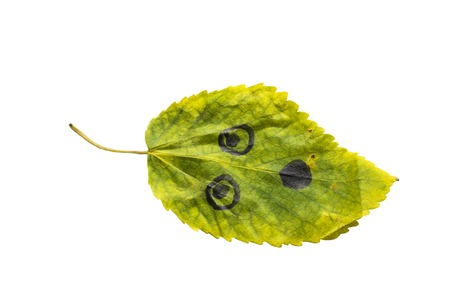 Green leaf with the image of a bared face on an isolated white background