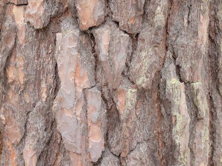 brown bark of pine tree close-up
