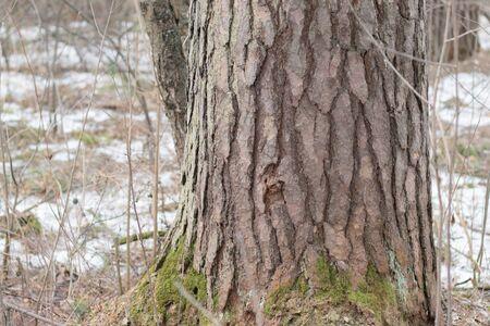 big tree svol in real nature Archivio Fotografico