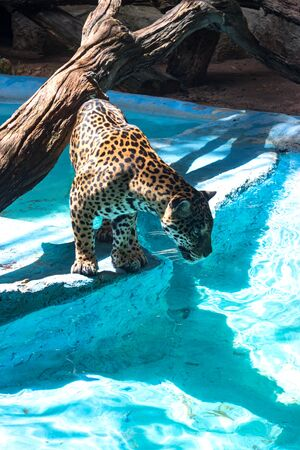African leopard is the nominative, most widespread subspecies of leopard. Leopard is preparing to jump into the water for a treat