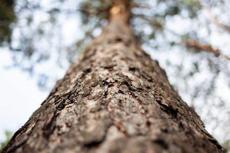 Forest, tree trunk in horizontal orientation, pine bark in blur for the background 스톡 콘텐츠