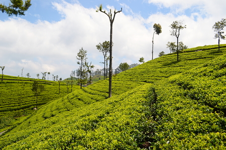 Green plantation of Ceylon tea. Bright terraced fields of tea plants near Haputale. Sri Lanka