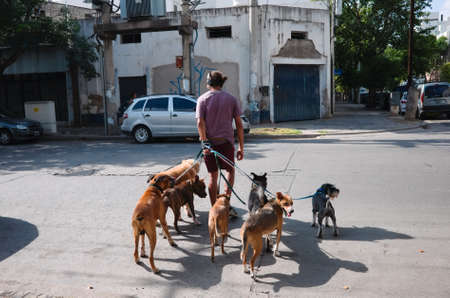 Cordoba, Argentina - January, 2020: Professional dog walker or pet sitter crossing a street with dogs. Man walking with bunch of dogs and listening to music in headphones