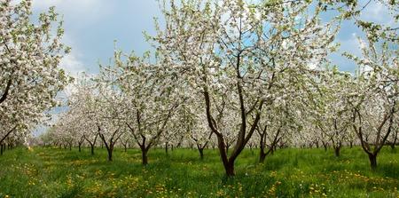 Apfelbaum-Blüte mit weißen Blumen Standard-Bild