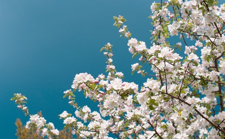 non urban: Apple Tree Blossom with White Flowers