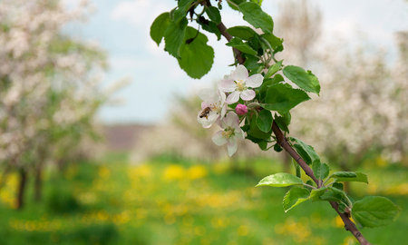 Blossoming Apple Trees with White beautiful Flowers