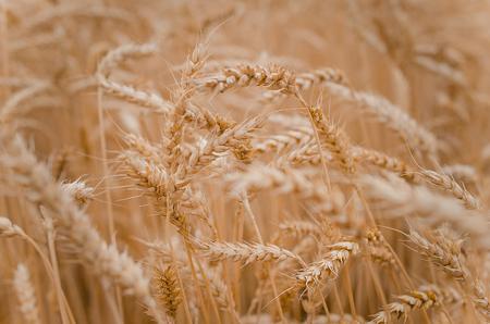 Wheat field, Ukraine.