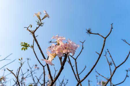 Blooming of tabebuia in Bangkok Archivio Fotografico