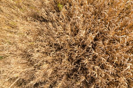 texture yellow grass in autumn top view close-up. nature of Belarus