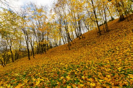 slope of the autumn park. carpet of yellow maple leaves Stock Photo