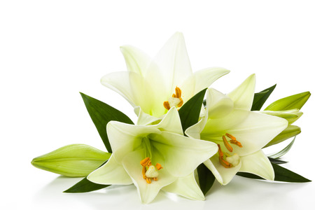 Closeup shot of white lilies isolated on white background.