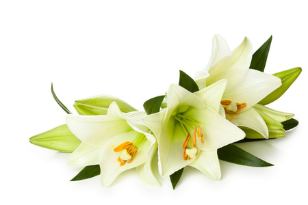 green flowers: Closeup shot of white lilies isolated on white background.