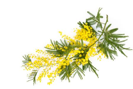 ミモザの花のショットを閉じる。白で隔離。 写真素材
