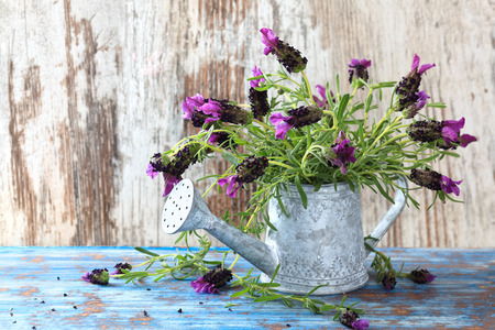 Lavender flowers in watering can against on vintage wood background. Banque d'images