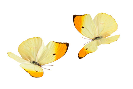 mariposa: Close up shot of flying butterflies (Anteos Menippe). Isolated on white. Stock Photo