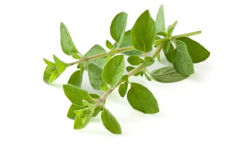 Twigs of oregano. Isolated on white background.