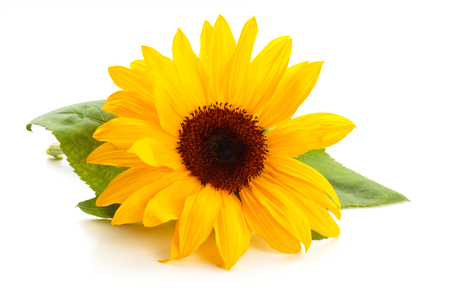 Sunflower  with leaves isolated on white background. Banque d'images