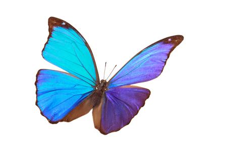morpho menelaus: Closeup shot of blue butterfly (Morpho Menelaus)  isolated on white background.