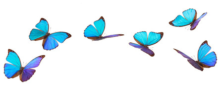 Closeup shot of blue tropical butterflies (Morpho Menelaus)  isolated on white background.