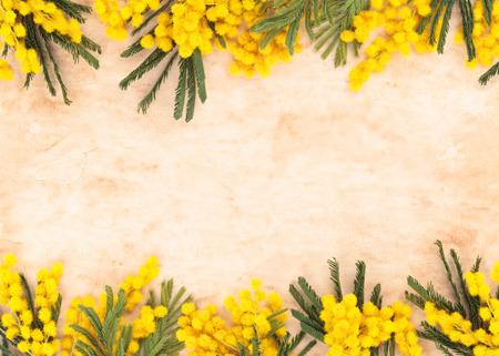 ミモザの花と古い羊皮紙のフレームです。白で隔離。