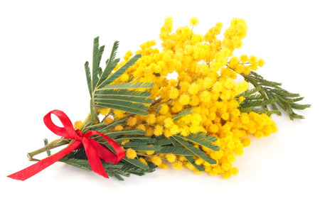 Close up shot of mimosa flowers. Isolated on white. 写真素材