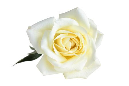 White rose on white.