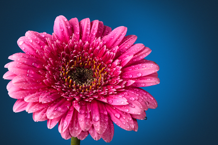Closeup shot of pink  gerbera with drops against dark blue Imagens