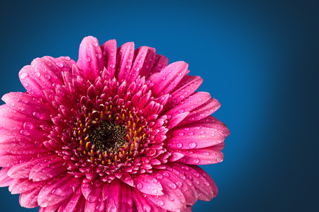 Closeup shot of pink  gerbera with drops against dark blue Фото со стока