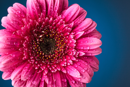 Closeup shot of pink  gerbera with drops against dark blue Stockfoto