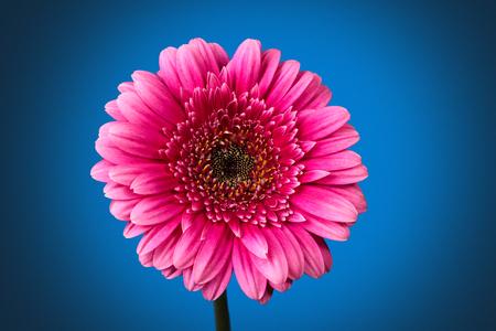 Closeup shot of pink  gerbera with drops against dark blue 版權商用圖片