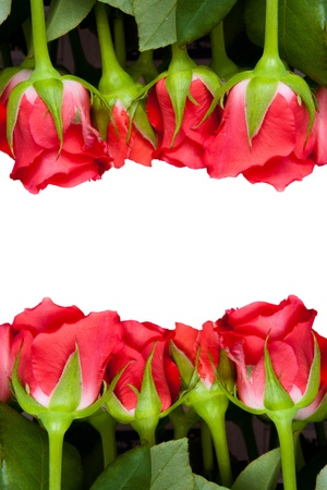 beautiful red roses on a pure white background with copyspace for text Stock Photo - 14830786
