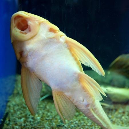 pez pecera: Bagre pescado acuario Ancistrus limpieza