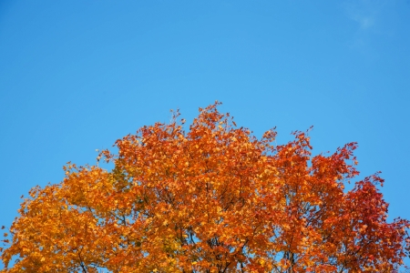 Krone maple from gold, yellow and orange leaves on background of blue sky. Bright autumn. Stock Photo - 15900310