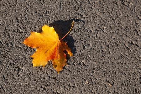 maple leaf Stock Photo - 15977791