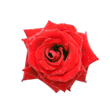 Red rose with dew drops, top view  Isolated on white background Stock Photo - 17474244