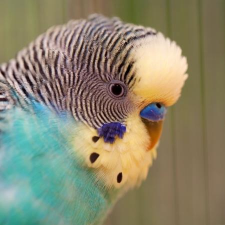 Portrait of a wavy parrot close-up. Macro. Stock Photo - 20287704